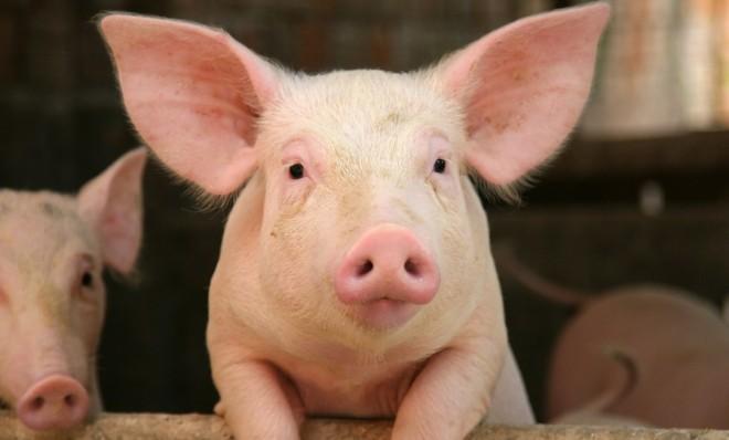 Órganos humanos cultivados en cerdos