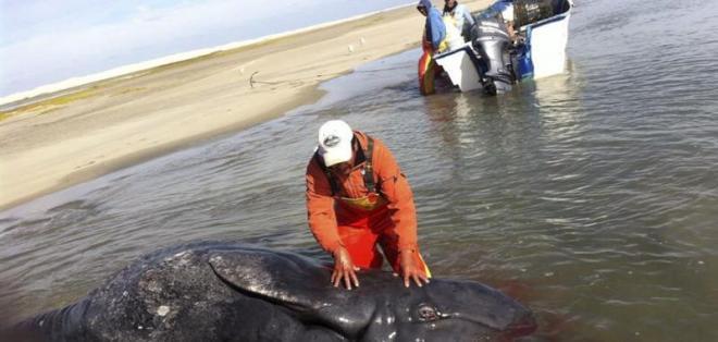 Hallan ballenas siamesas en México