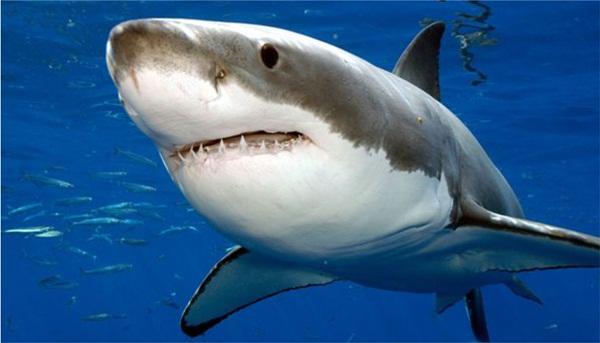 ¿Qué podría comerse a un tiburón de casi 3 metros?