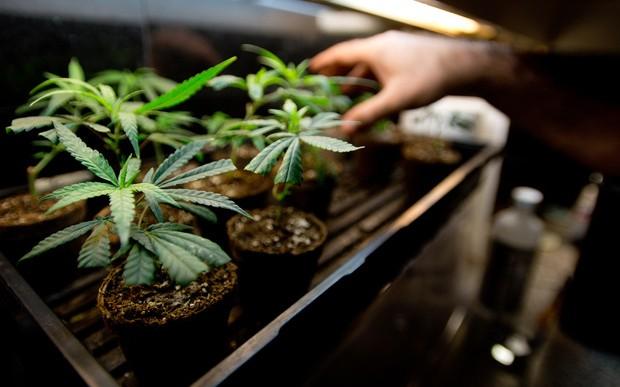 Comienza la consulta popular sobre la regulación de la mariguana en México