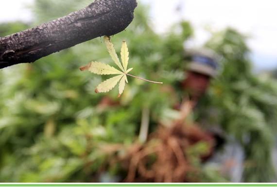 Planteará PRD despenalizar consumo y portación de marihuana