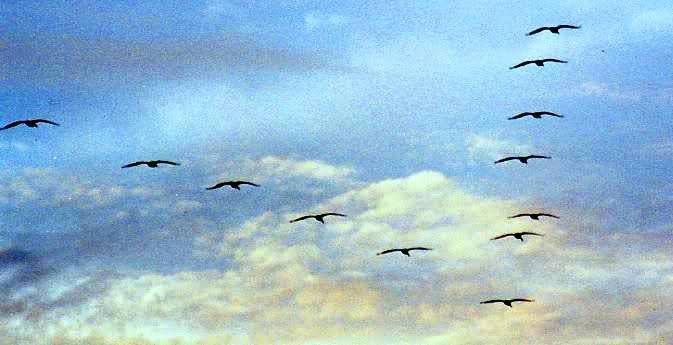 ¿Por qué las aves vuelan en formación de V?