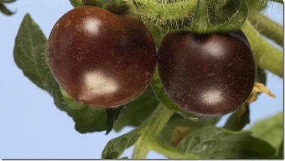 El tomate morado, un nuevo «superalimento» modificado