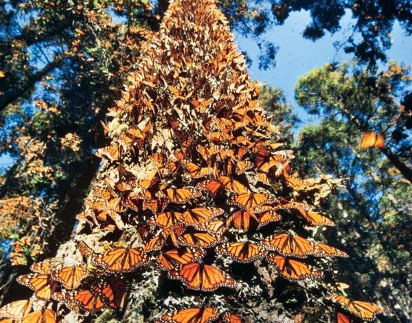 Tres países cuidarán hábitat de mariposa Monarca