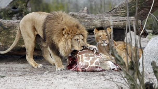Amenazan zoologico por matar a jirafa