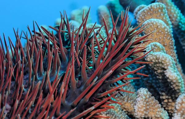 La estrella de mar asesina que devora los corales