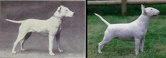 Mira cómo la selección genética ha arruinado a estos perros