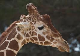 Campaña para salvar a una jirafa condenada a muerte