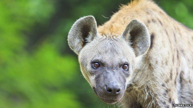 La ciudad que vive asediada por las hienas