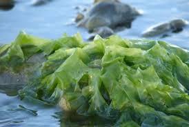 ¿Algas para absorber la grasa?