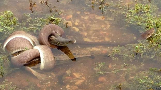 Serpiente devora a cocodrilo entero