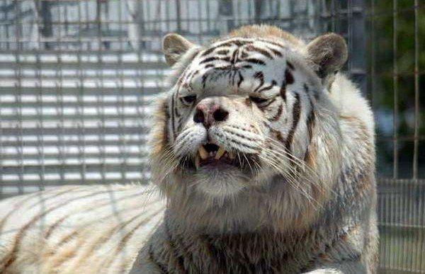 Conoce al primer tigre con síndrome de Down
