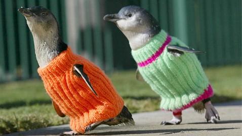 Suéters para salvar la vida de pingüinos bebé