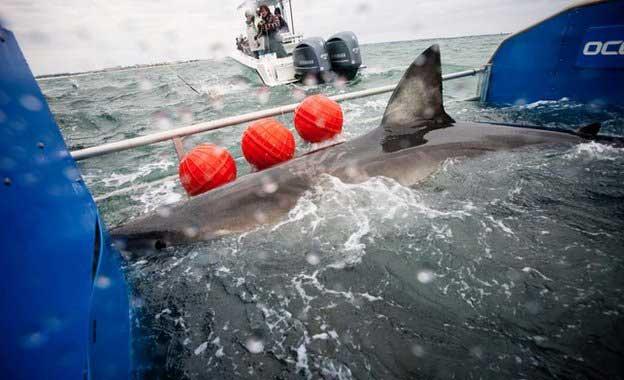 El asombroso viaje de el tiburón blanco que cruzó el Atlántico