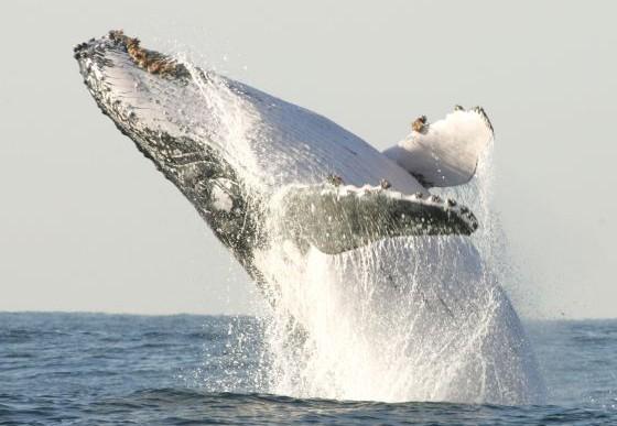 ONU prohibe a Japón a continuar con caza de ballenas