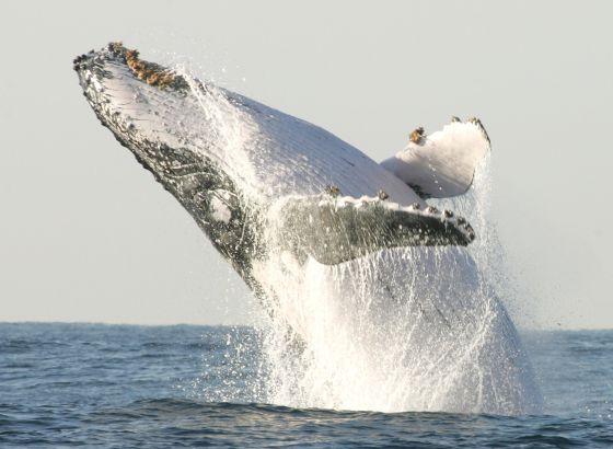 Las ballenas azules de California ya se han repoblado a niveles históricos