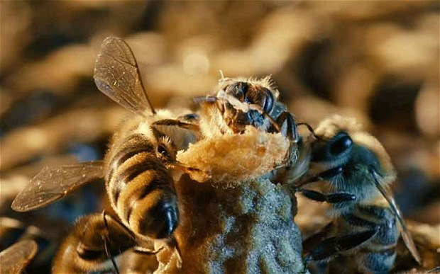 Las abejas se protegen entre sí