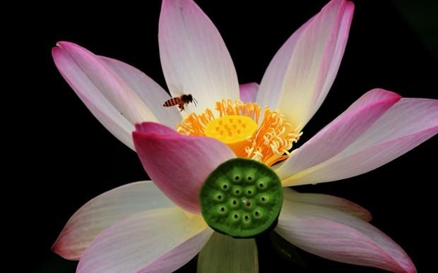 La temporada del flor de loto en China (fotos)