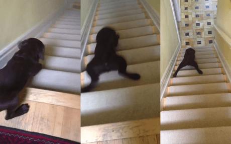 No es tan fácil bajar escaleras cuando eres un cachorro