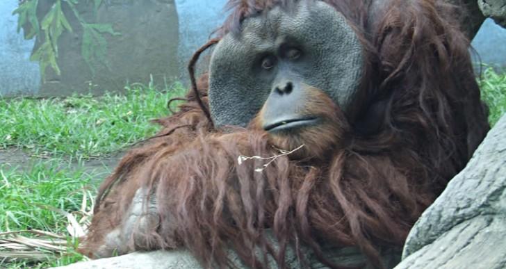 Un orangután arrancó el dedo a una mujer en Chapultepec