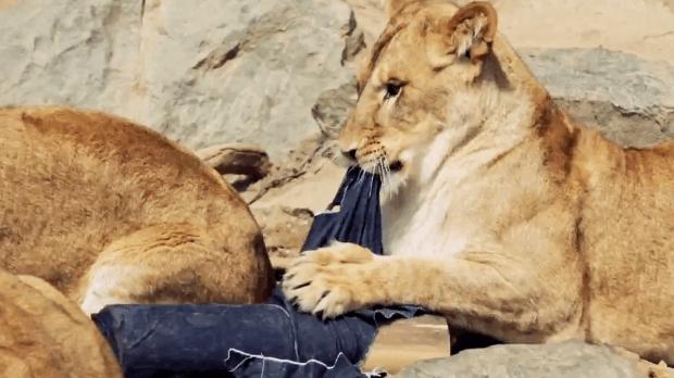 Jeans rotos por leones: $1,500