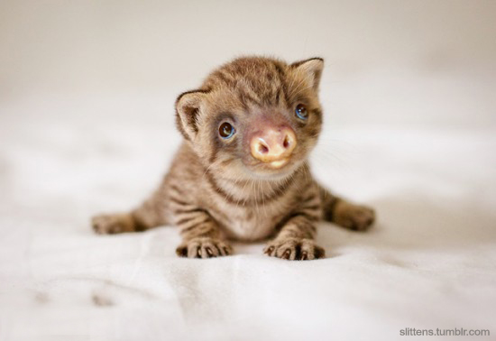 Slittens, un sitio dedicado a la combinación de gatitos con osos perezosos