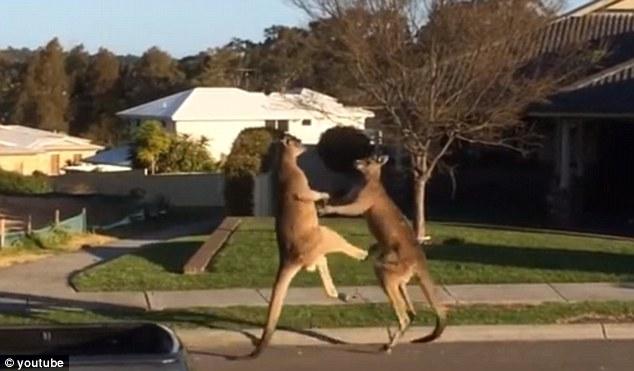 Mira la pelea que protagonizaron dos canguros en plena calle