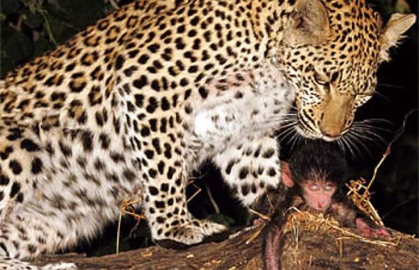 ¿Sentirá compasión este guepardo que adoptó a la cría de su presa?
