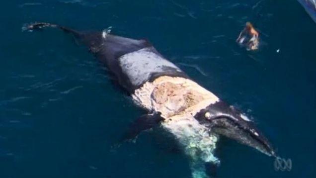 Este hombre se para sobre una ballena muerta rodeada de tiburones
