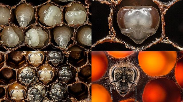 Mira los primeros 21 días de la vida de una abeja en 60 segundos