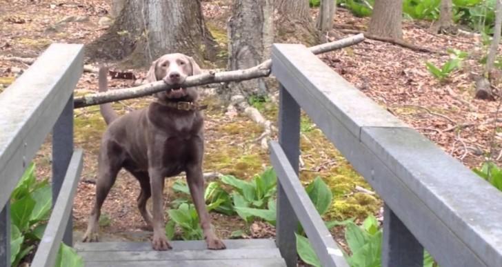 Este perro está decidido a cruzar el puente con su palo, ¿lo conseguirá?