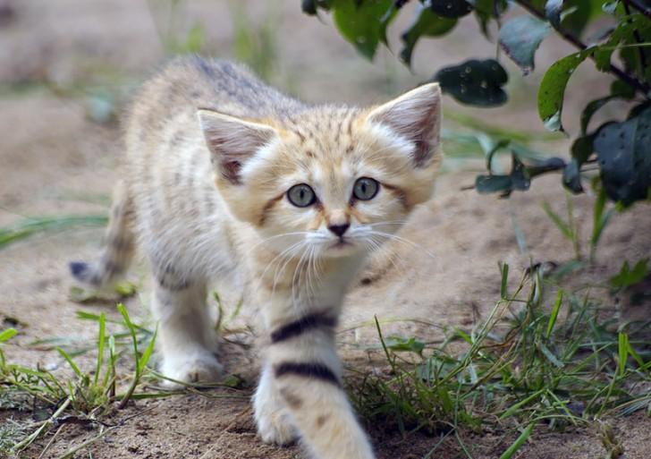 Gato arena: un tierno gatito que parece gatito toda su vida