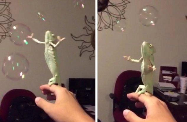 Muere de amor con este encantador camaleón explotando burbujas de jabón