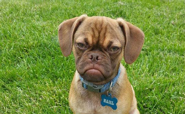 Grumpy Dog, el perro más enojado que Grumpy Cat