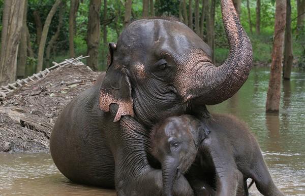 Por qué los elefantes son las mejores madres del mundo