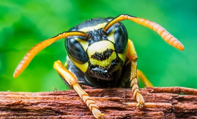 Resulta que el veneno de avispa mata células cancerígenas