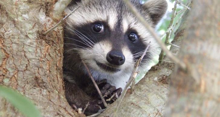 15 pruebas que demuestran que los mapaches son adorables
