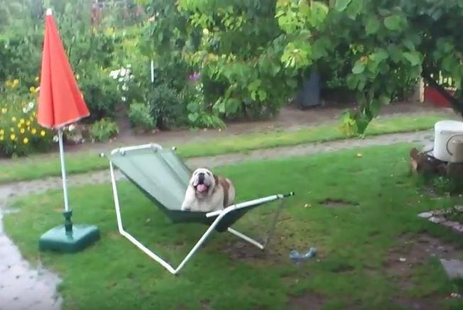 Este bulldog jugando en la lluvia te fascinará