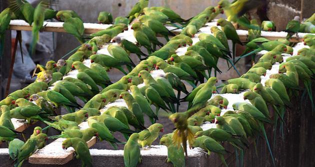 El hombre pájaro de la India alimenta a más de 4,000 periquitos diariamente