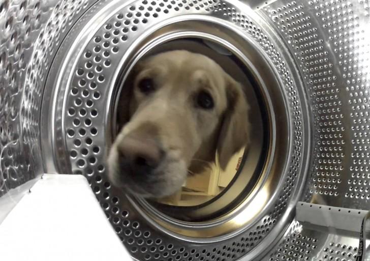 Mira a este preocupado perrito rescatar a su adorado amigo de la lavadora