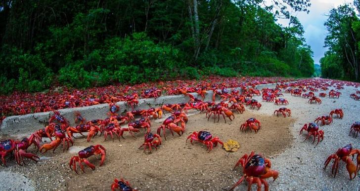 Millones de cangrejos rojos cruzan esta isla gracias ala ayuda de humanos