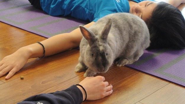 ¿Estás listo para estas clases de yoga con conejitos ?