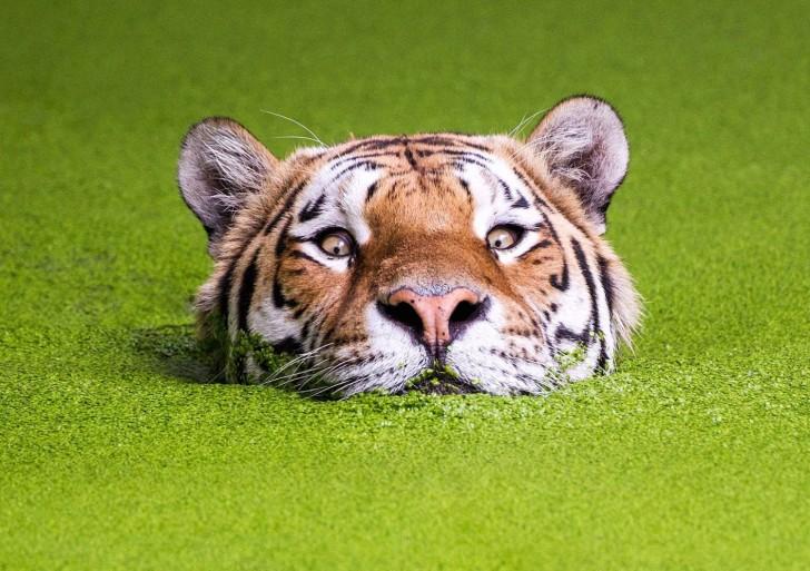 Este tigre es la última tendencia del photoshop