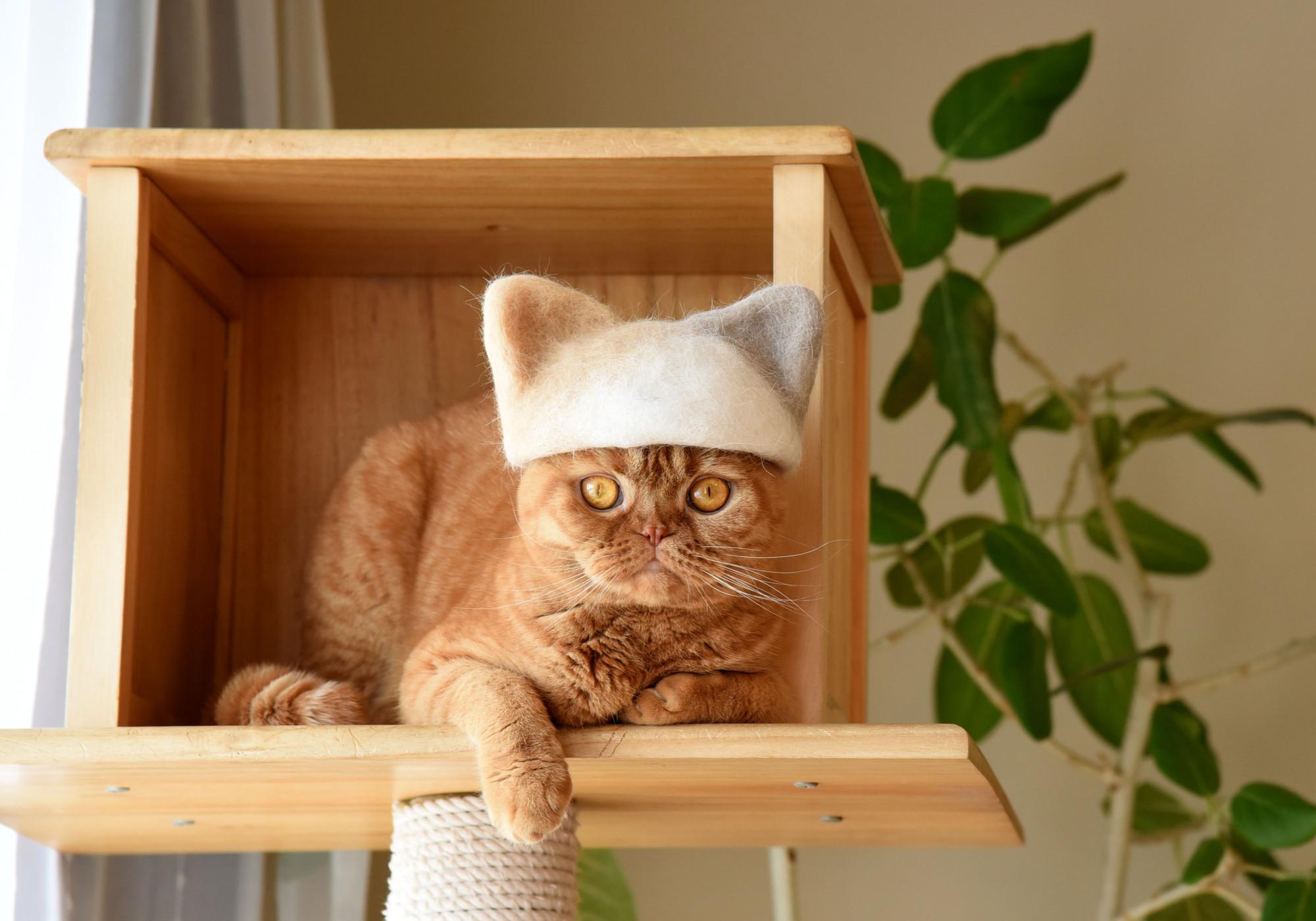 Scottish Fold '' Mugi '' wearing a cat hair cap ,10 February 2018 .Satoko Kawasaki . cat hair cap .