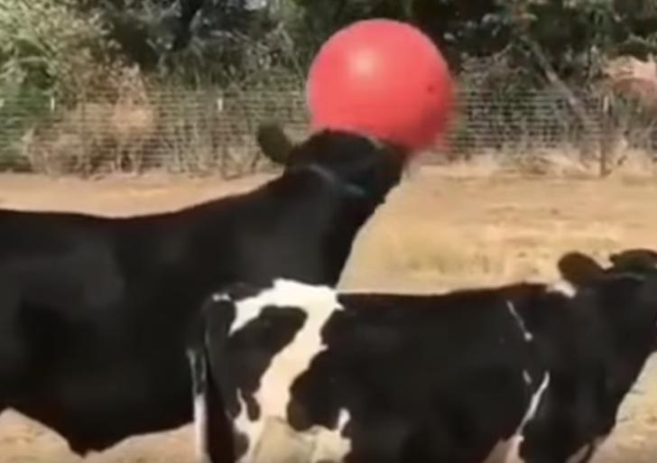 Este video demuestra que puedes jugar a la pelota con cualquier animal