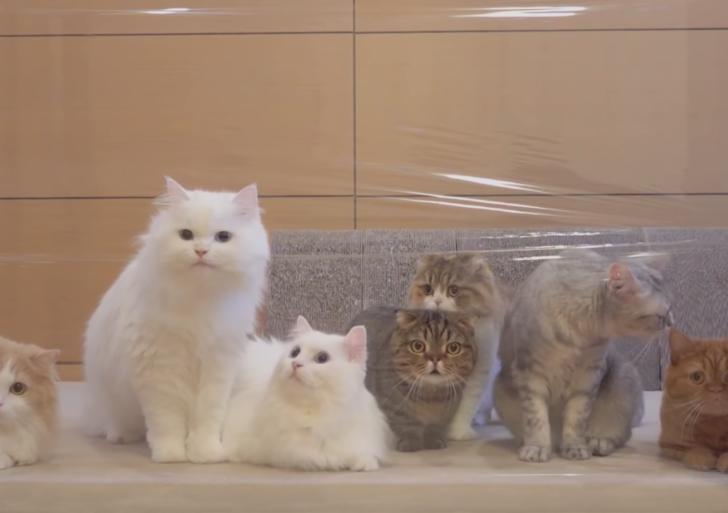 ¿Qué pasa si le pones a un grupo de gatos una pared invisible