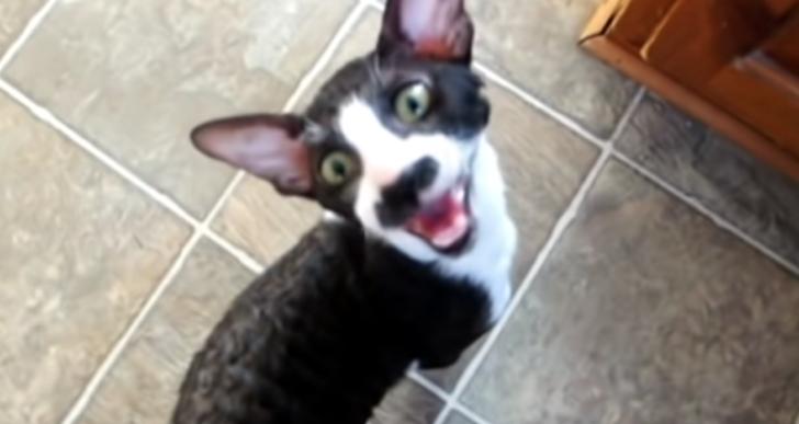 Conoce al gato con el maullido más largo y molesto del mundo