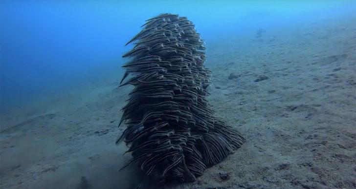 Estas anguilas se mueven juntas para parecer una criatura más grande