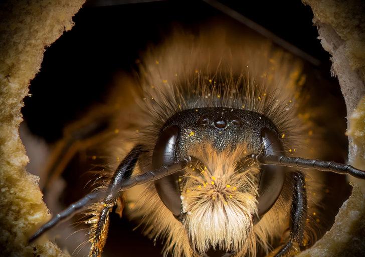 Estos retratos muestran lo diversas y únicas que son las abejas individualmente